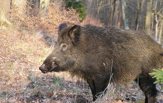 猪獾是几级保护动物